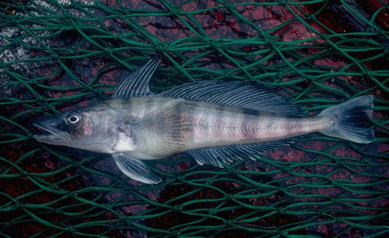 митсубиси картинка ледяная рыба в антарктиде день самой обворожительной